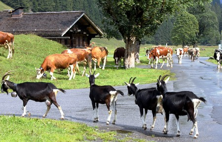 Swiss farm animals