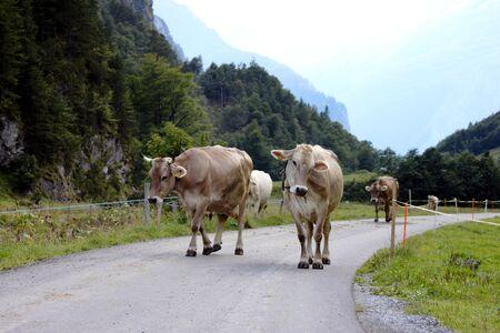 alp: Swiss cows on the alp