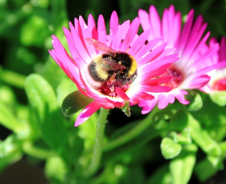ice plant: Ice plant flower with bee Stock Photo