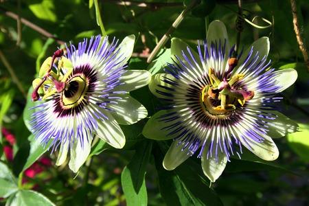 Blue Passiflora Stock Photo
