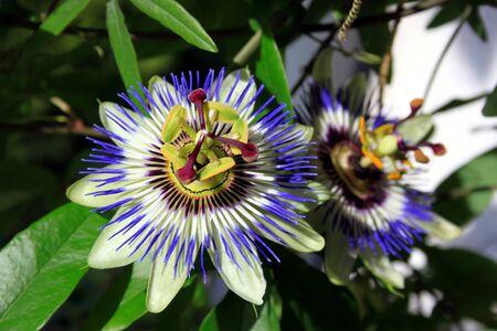 passiflora: Blue Passiflora Stock Photo