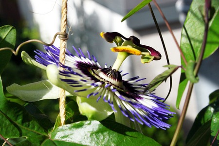 Passion flower with blue flower
