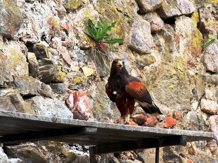 chrysaetos: stone eagle