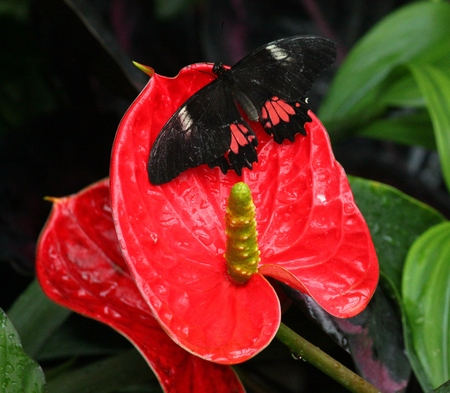 insecta: Black Butterfly on red flamingo flower