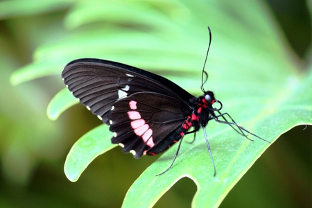 insecta: Black Butterfly on Leaf