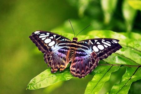 insecta: papilio sylvia Stock Photo