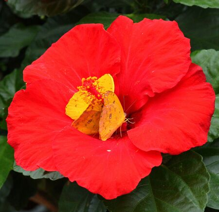 insecta: Hibiscus flower with butterflies