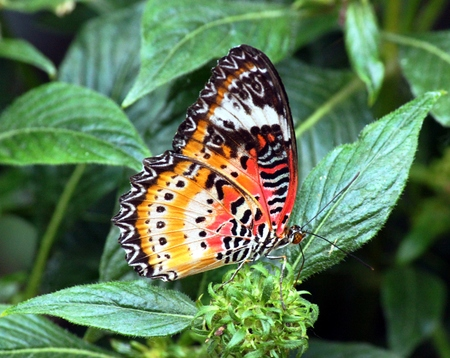 passionflower butterfly