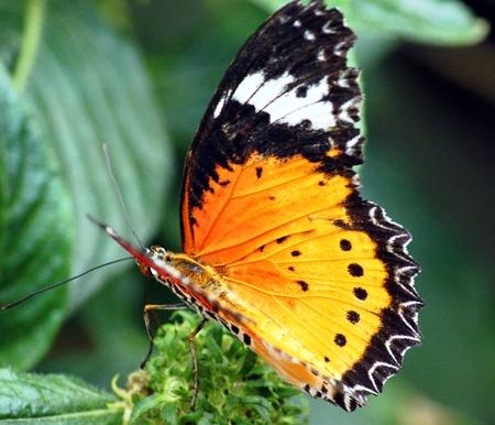 insecta: cethosia