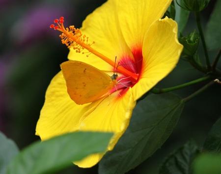 Hibiscus flower with gonepteryx rhamni