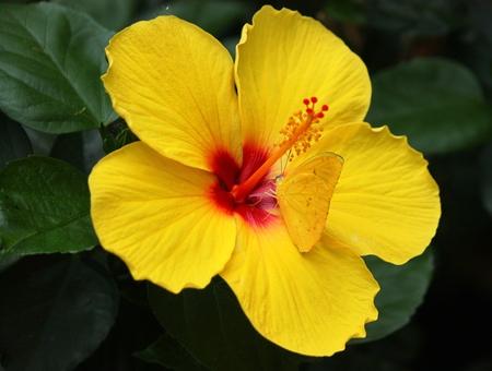 gonepteryx: Hibiscus flower with gonepteryx rhamni