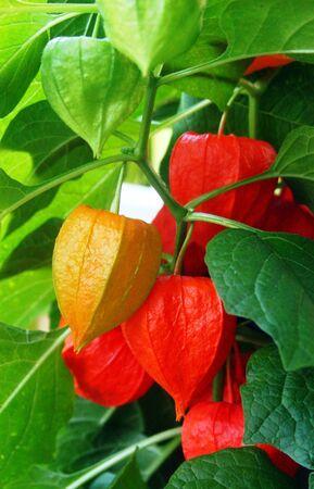 Orange lanterns of lantern flower
