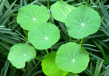 Round leaves of a climbing plant