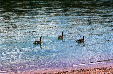 Various waterfowl on the lake