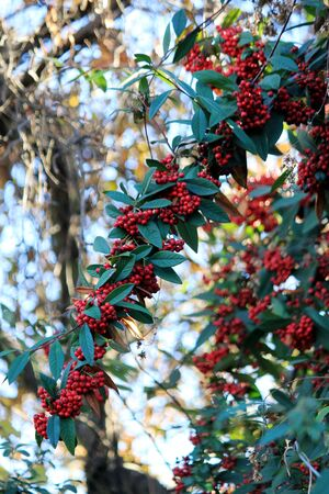 Red fruits on the bush