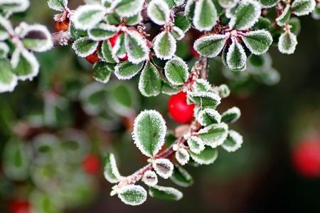 Frozen leaves of the dwarf medlar