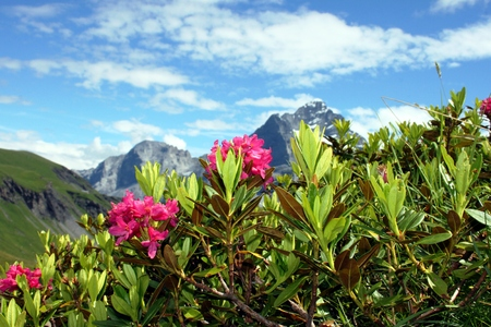 Alpine roses in the high mountains Zdjęcie Seryjne