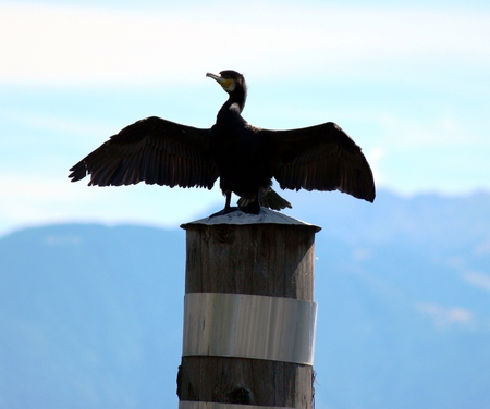 Cormorant dries his feathers