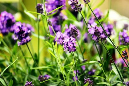 Lavender in summer garden Stock Photo