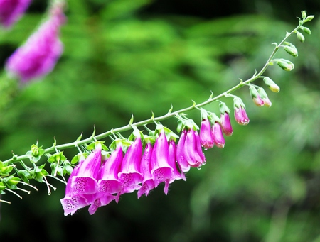 plantain herb: Red Foxglove with bee