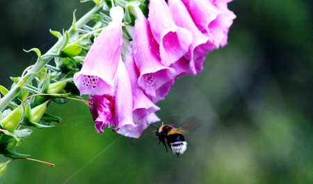 plantaginaceae: Red Foxglove with bee
