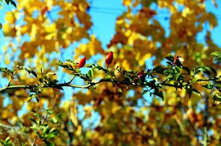 Hagebutten vor dem Wein im Herbst Standard-Bild - 89198884