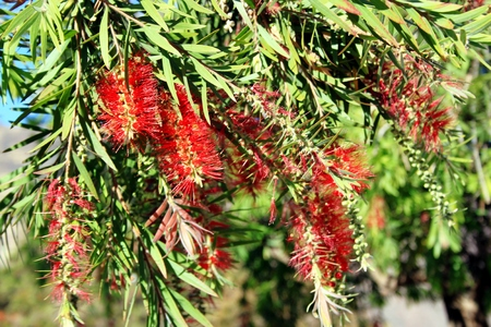 red flowers of the callistemon citrinus