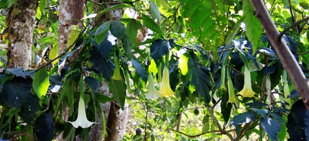 Angel trumpet tree in South America Stock Photo