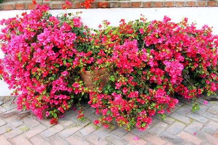 Gorgeous flowering Bougainvillae in the backyard