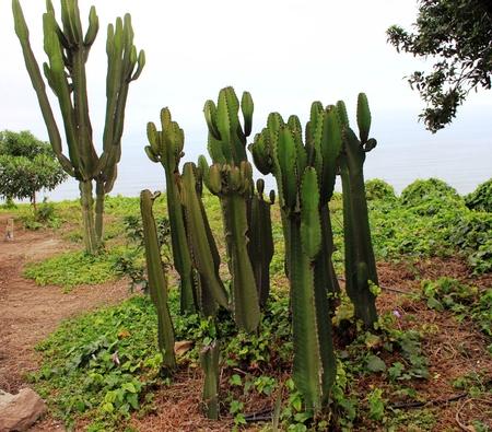 Cacti at the coast