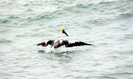 Pelican in the Pacific
