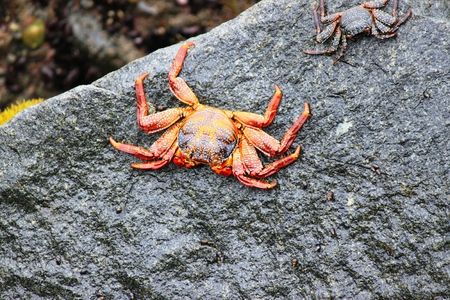 Red Cliff Crab