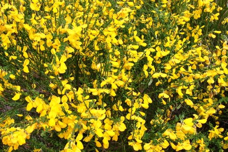 yellow flowered broom shrub