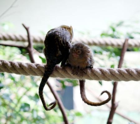 curious capuchin monkey couple Фото со стока