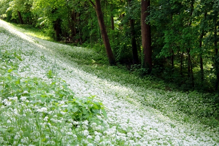 Wild garlic in the forest Stock Photo