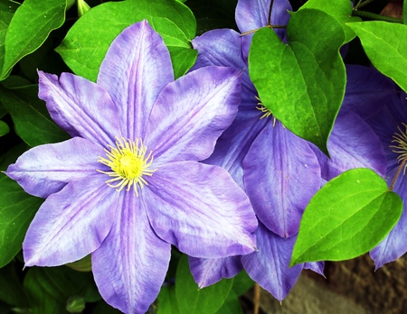 Blue clematis flower