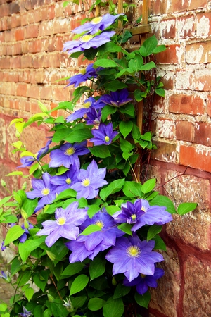 Blue clematis on the wall