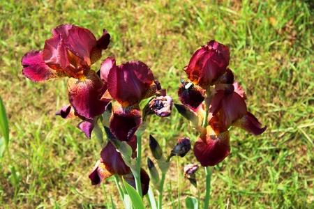 red irises in the garden
