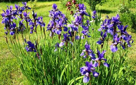 blue iris in the garden