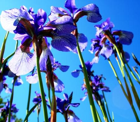 blue irises in blue sky Banco de Imagens