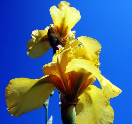 yellow iris Stock fotó