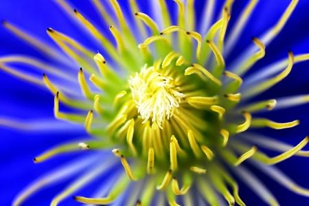 Blue clematis flower