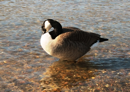 Canada goose in the clear water Stock Photo