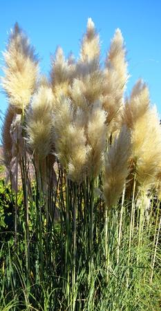 Silver pampas grass Stockfoto