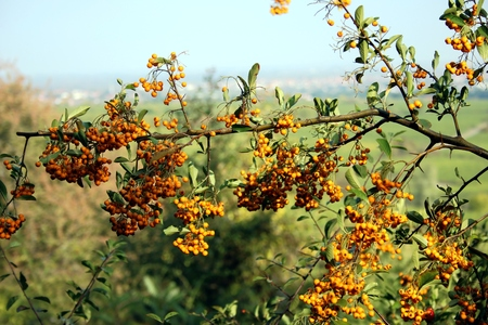 Firethorn with orange berries Banque d'images