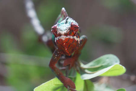 Panther chameleon Furcifer pardalis on a branch