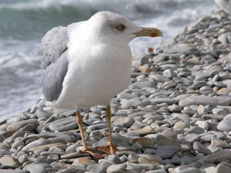 The seagull at coast of Black sea