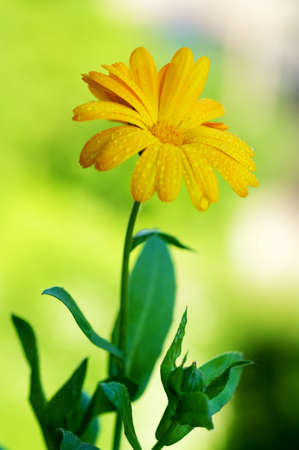 Calendula officinalis, pot marigold with drops on the petals