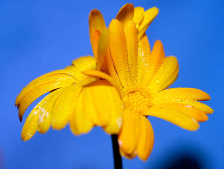 Calendula officinalis, pot marigold with drops on the petals