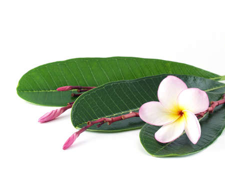 home decorating: plumeria Flowers, For home decorating or Asian-style spa Stock Photo